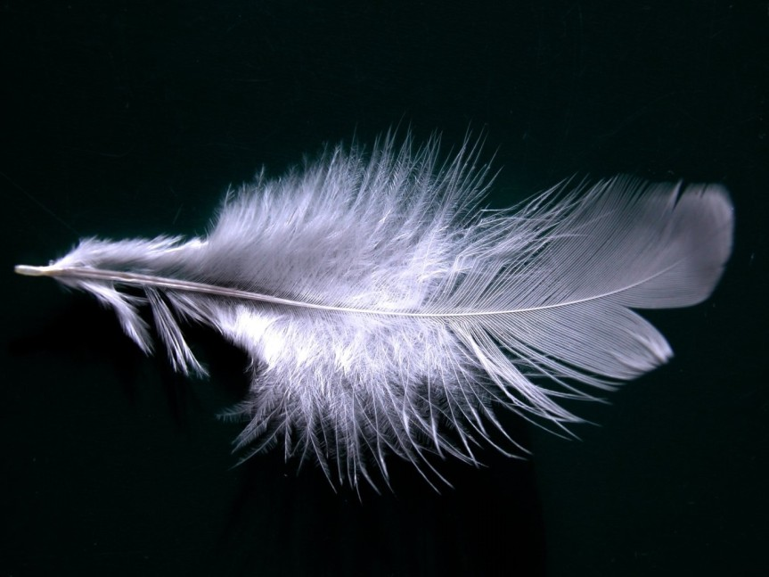 A_single_white_feather_closeup